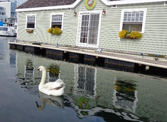 Swan visiting the Green Turtle